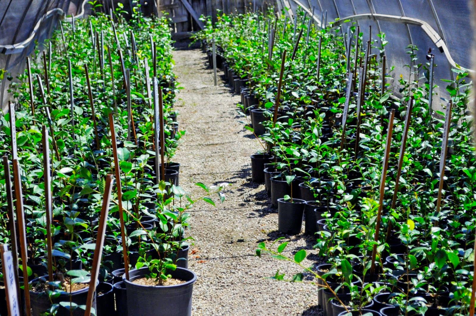 L a county arboretum botanic garden plant info plant for Garden plant information