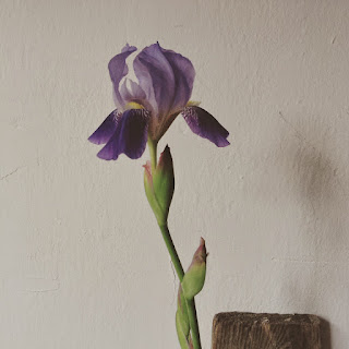 Fioletowy kwiat Irys