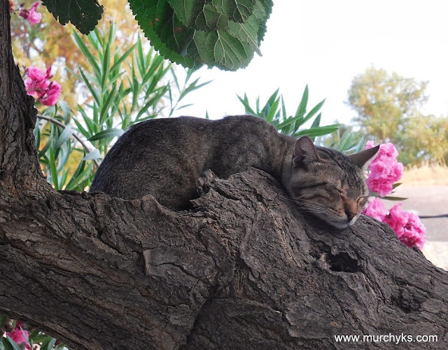 Kitty Cat from Crete, Sleeping on a Tree