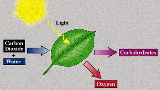 Photosynthesis: improved schematic.