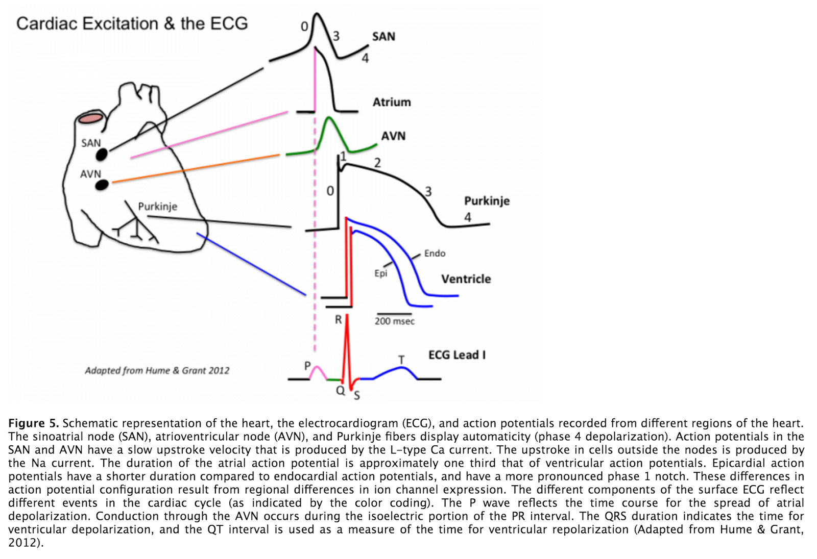 Tutors notes general cardiovascular respiratory and renal cardiac excitation and the ekg pooptronica Images