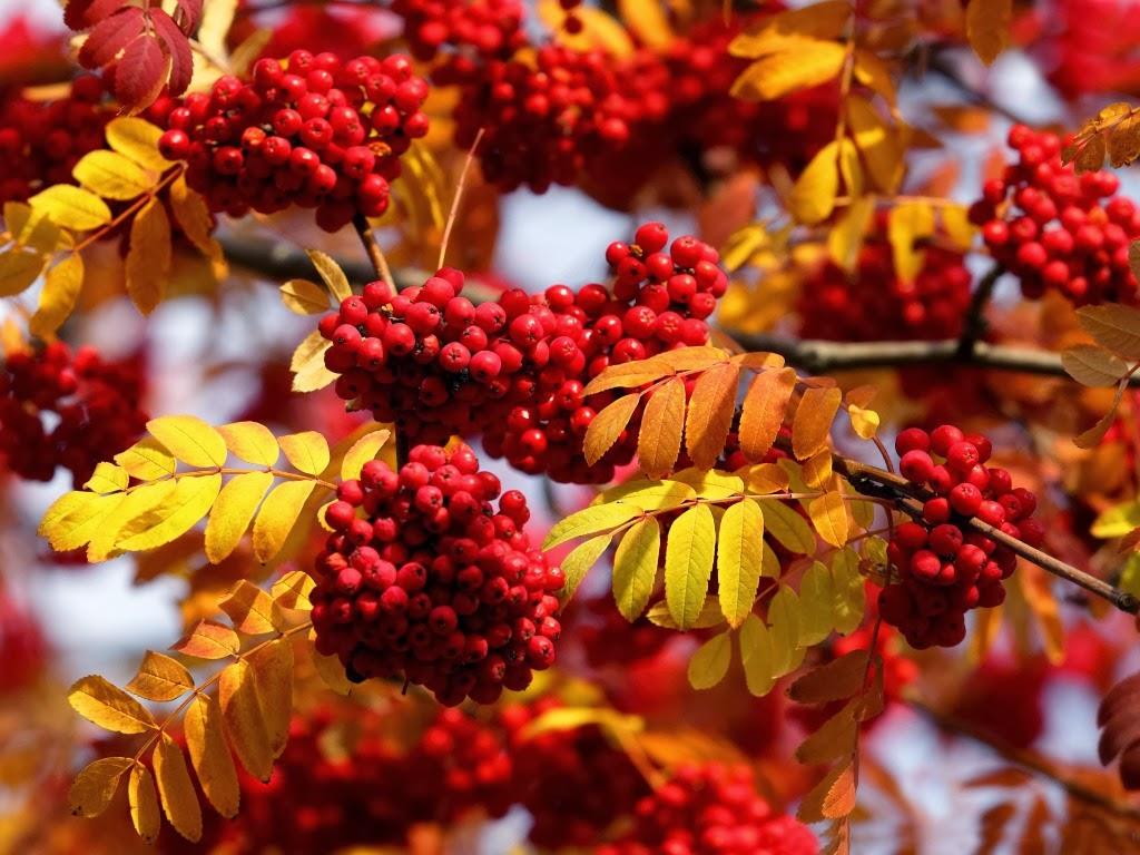 """<img src=""""http://2.bp.blogspot.com/-lnRDbus22js/Ut5AObjG8fI/AAAAAAAAJgk/vbzCHR2yGzg/s1600/red-autumn-rowan.jpeg"""" alt=""""red autumn rowan"""" />"""