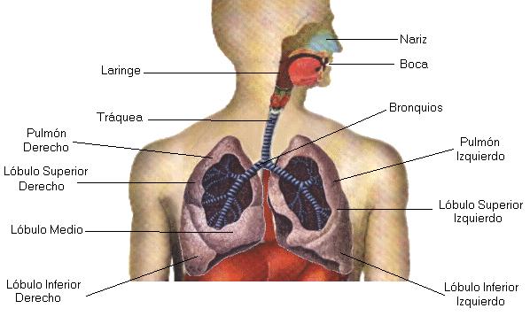 El Sistema Respiratorio Humano: Órganos del Sistema Respiratorio Humano