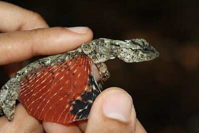 Draco Beccarii lagartija