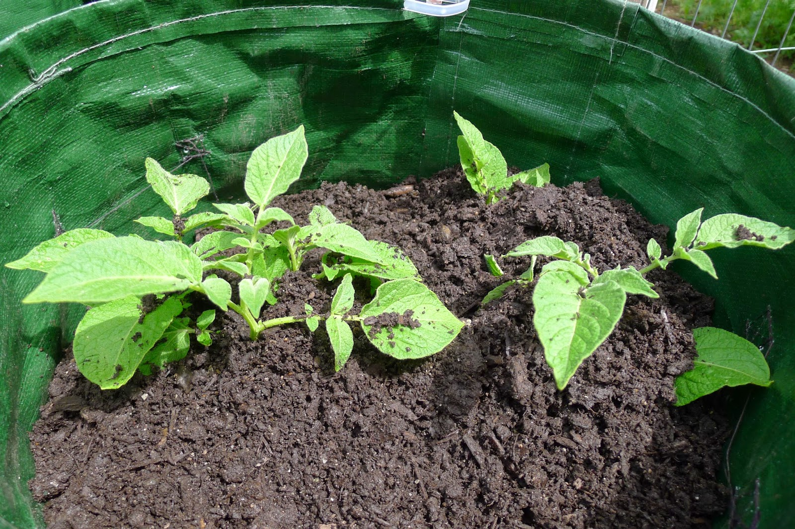 Hilling Grow Bag Potatoes