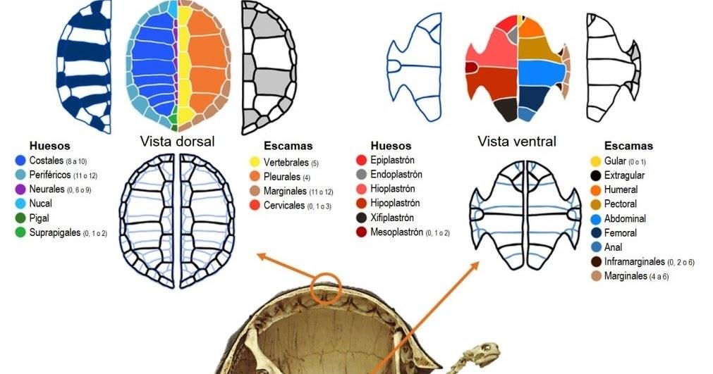 Atractivo Huesos De Tortuga Anatomía Composición - Anatomía de Las ...