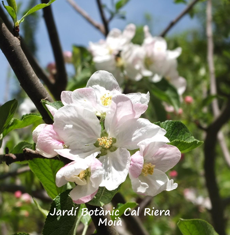 flors de codonyer