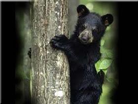 gambar_anak_beruang_hitam