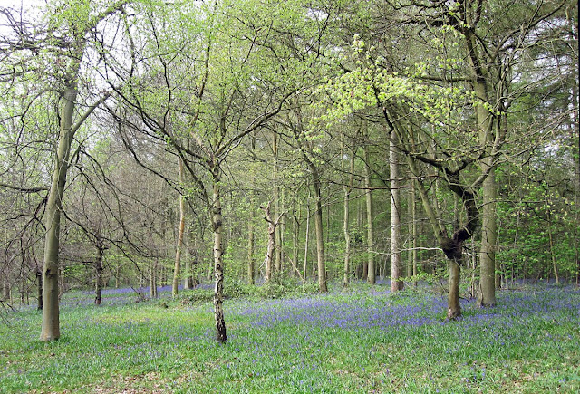 Bluebell woodland in High Elms Country Park.  14 April 2011.