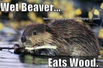 Wet Beaver - Eats Wood. Funny Photo