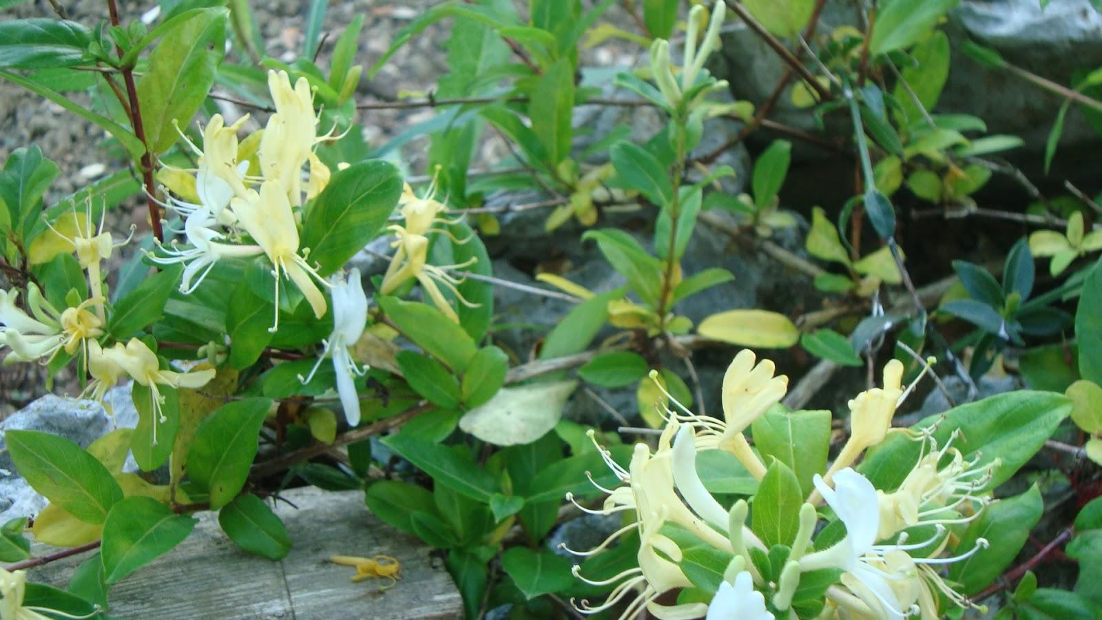Floresamatxo todo sobre las flores consejos para cuidar - Madreselva planta ...