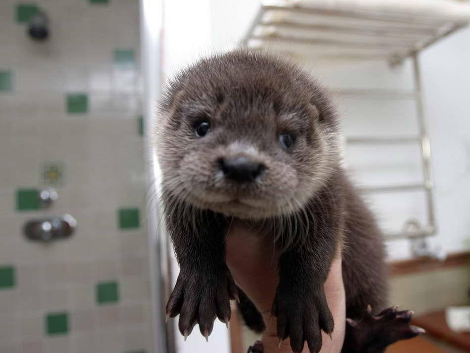 koningsberg cute baby otters
