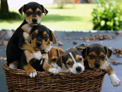 cachorritos en una cesta