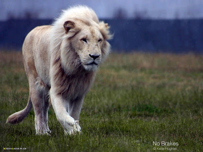 White Lion Picture