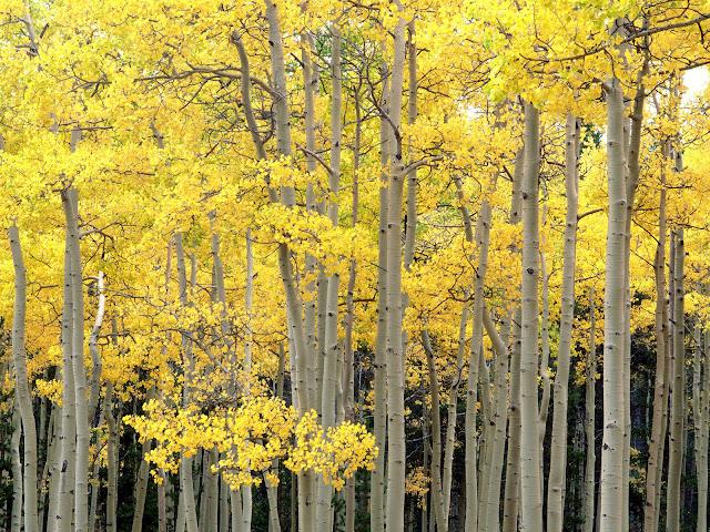Autumn Aspens, Kenosha Pass, Pike National Forest wallpaper