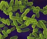 Bakteri Mycobacteria/Mikobakterium