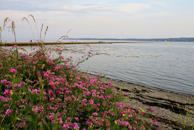 wild flowers on the Maine coast