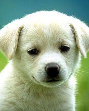 Bijeli psić životinje download besplatne slike pozadine za mobitele