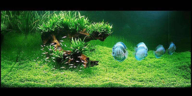 Freshwater aquarium plants for your discus fish tank for Planted tank fish