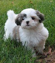 Cute Shih Tzu Puppy Pictures