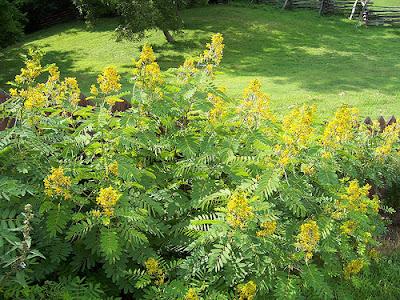 Seminte si plante de gradina hobby: Siminichia-Cassia