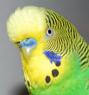 budgie breeding amp mating love birds care