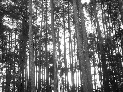 black and white picture of a stand of young trees