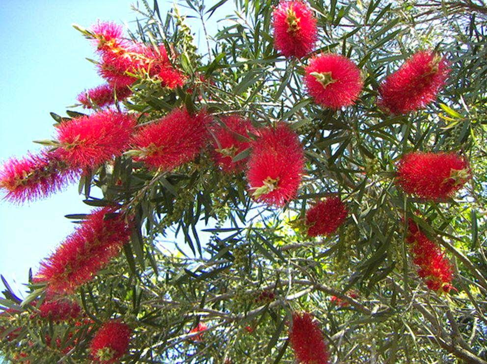 Jual pohon sikat botol | suplier tanaman | tanaman hias | jasa desain taman