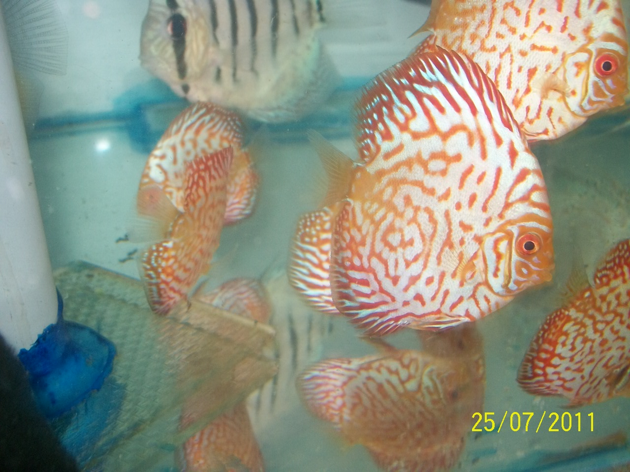 Buy discus fish online discus fish for sale in mum for Discus fish for sale near me