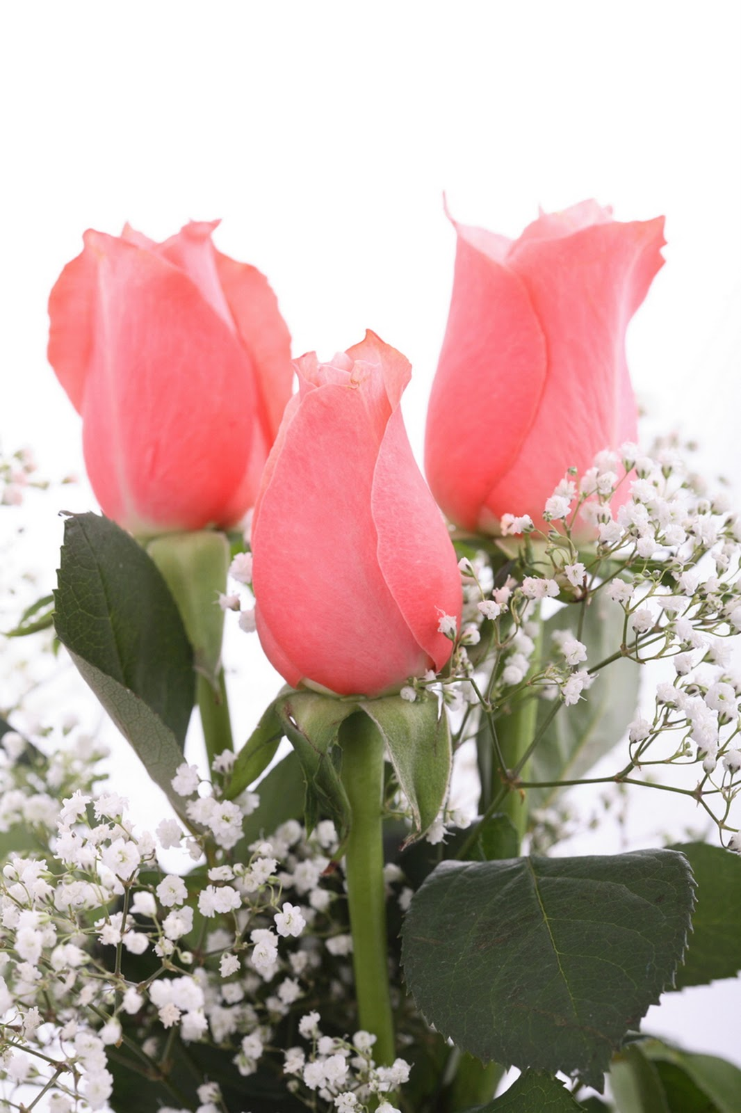 Gambar Bunga Mawar Yang Cantik Cantik Planet Wallpapers