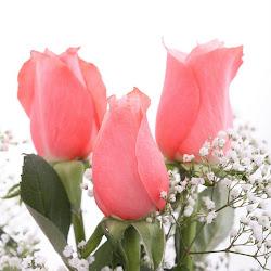 gambar bunga mawar cantik