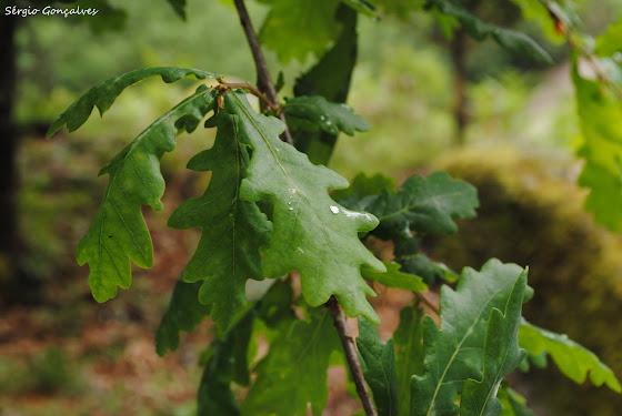 Carvalho Alvarinho \ Quercus Robur
