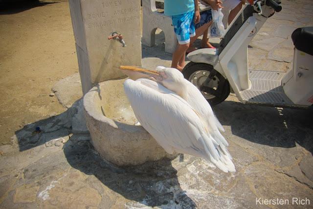Pétros the Pelican