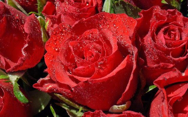 tải hình nền hoa hồng miễn phí