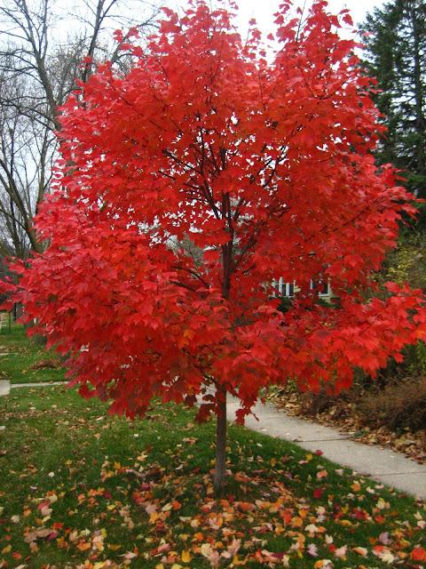 Autumn Blaze4