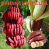 Banana vermelha e os benefícios à dieta
