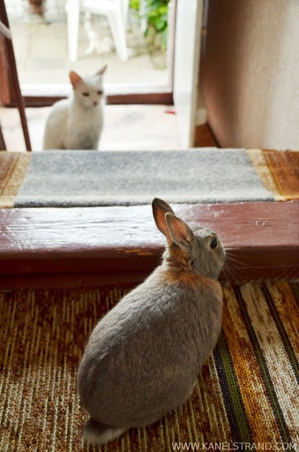 rabbit meets cat