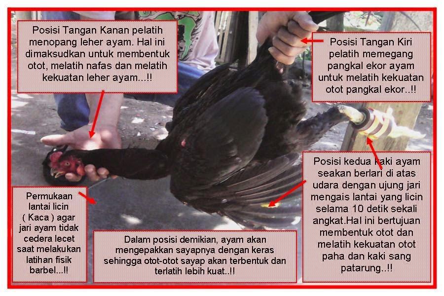 Cara Mudah Merawat Ayam Bangkok Aduan