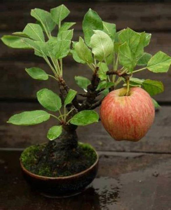 Bonsai Buah Apel