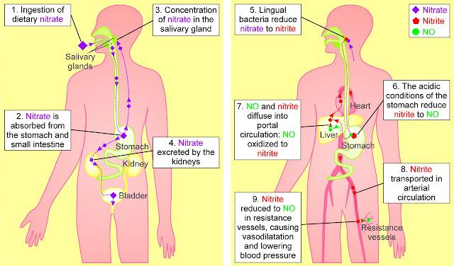 Нитратный цикл, часть 4. Удивительные превращения нитратов в организме.