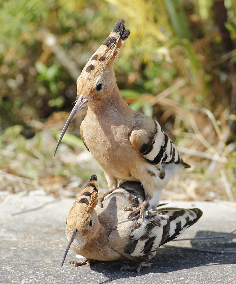 extended essay z polskiego Hoopoe Bird Diet, Distribution, Pictures, Habitat