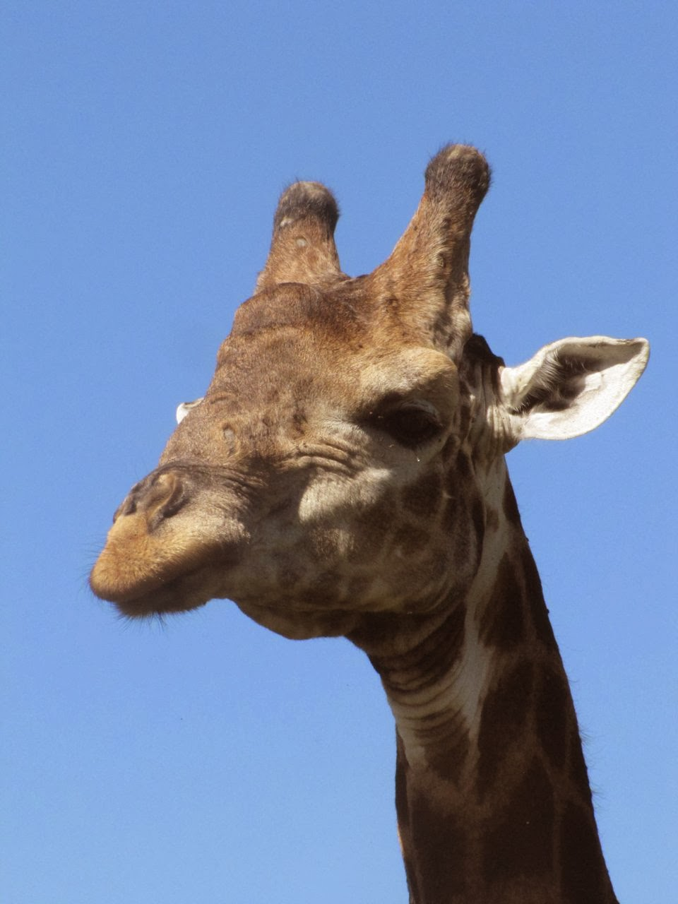 Giraffe Profile Image
