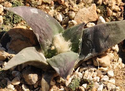 Ariocarpus retusus (SB 310; Cuesta la Muralla, Coahuila)