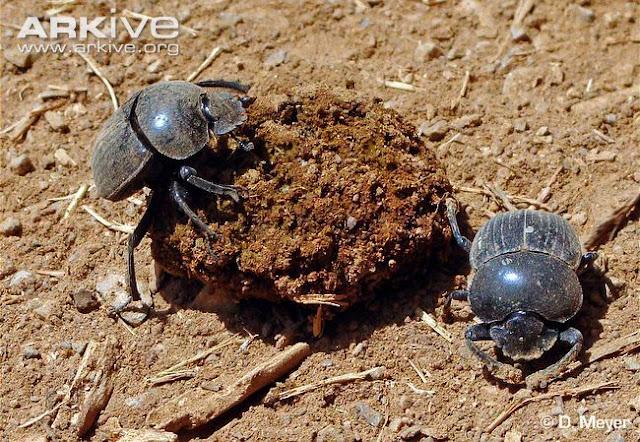 Kumbang+2 rappets.com