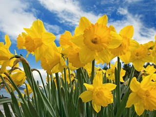 Daffodil wallpapers hd
