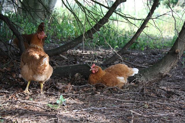Mrs Fox's hens chickens
