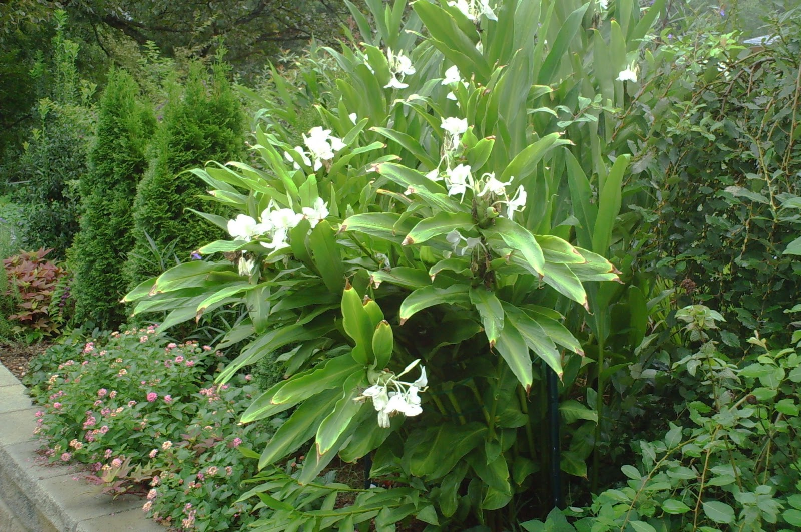 how to grow ginger lily