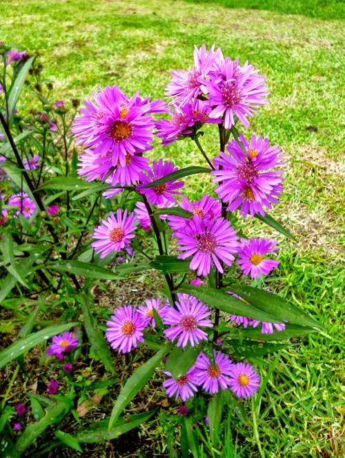 Italian aster flower violet queen sl flora italian aster flower plant violet queen mightylinksfo