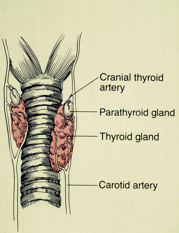 Anatomy of thyroidectomy