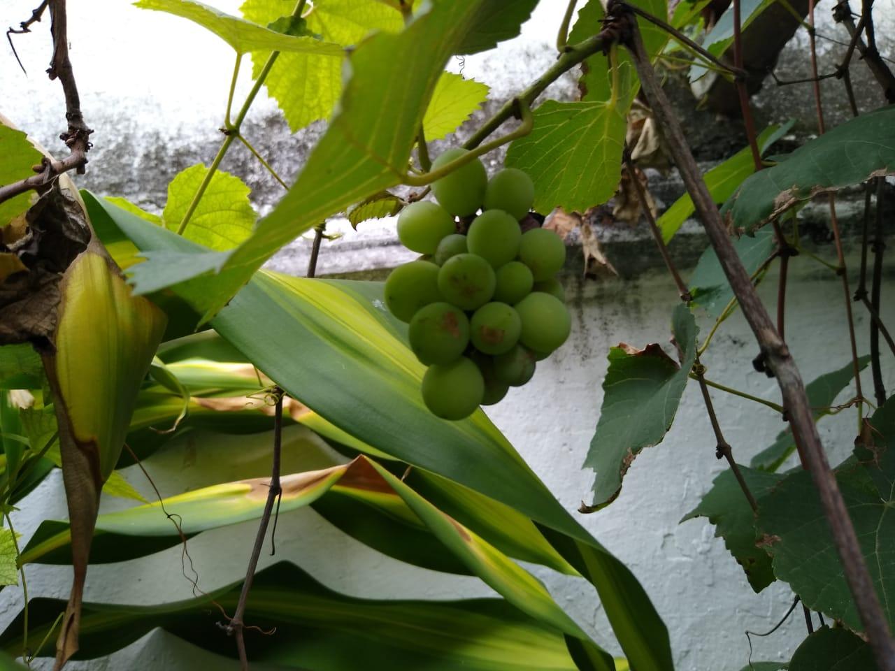 Uvas no jardim aqui, da mamãe